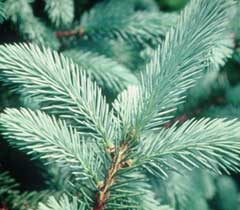 Mail Order Vermont Christmas Trees - learn the tree types, then order