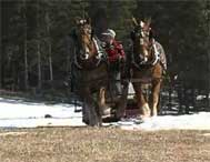 Maple Syrup collection using horses in northern VT