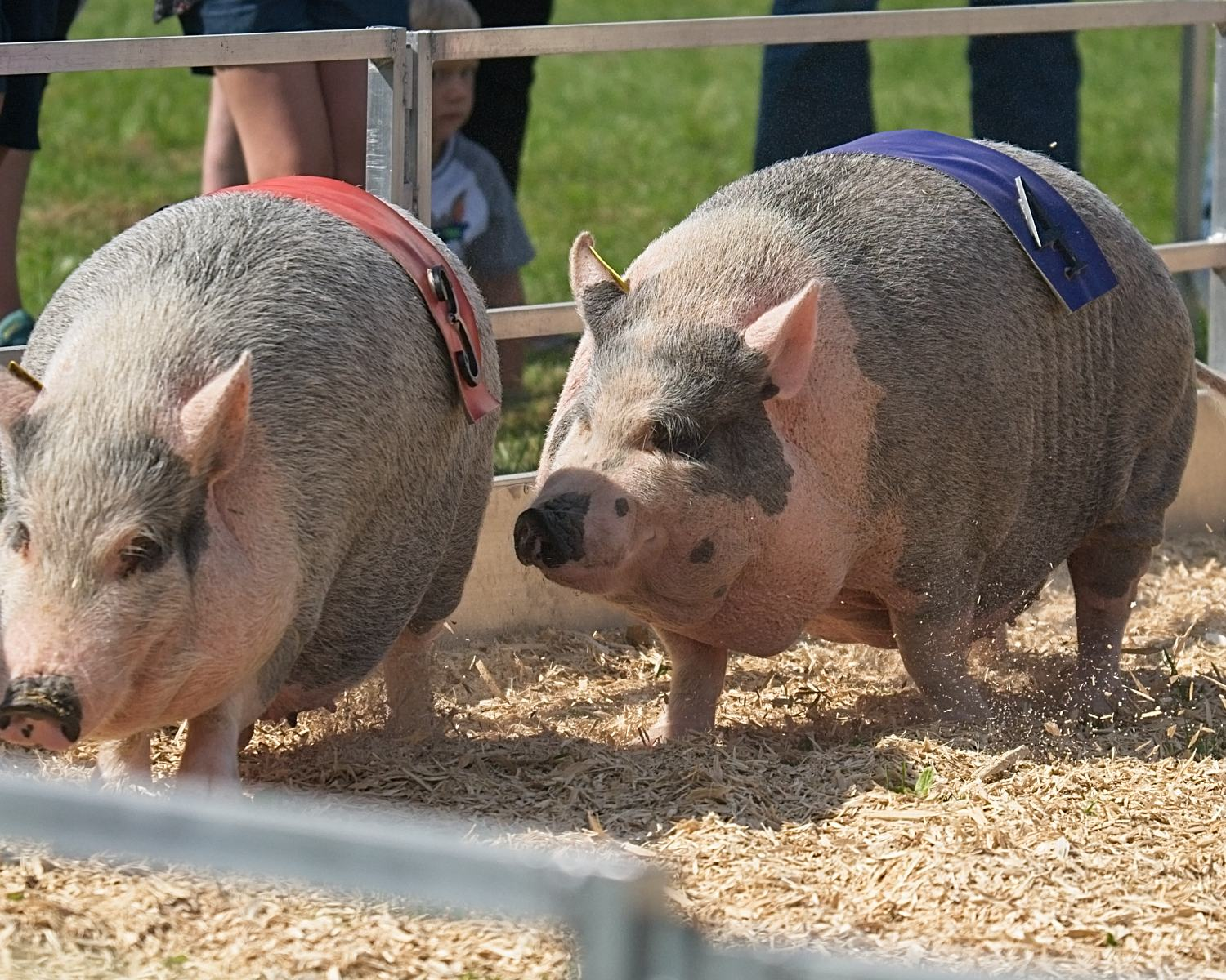 Pigs Race at the Vermont State Fair
